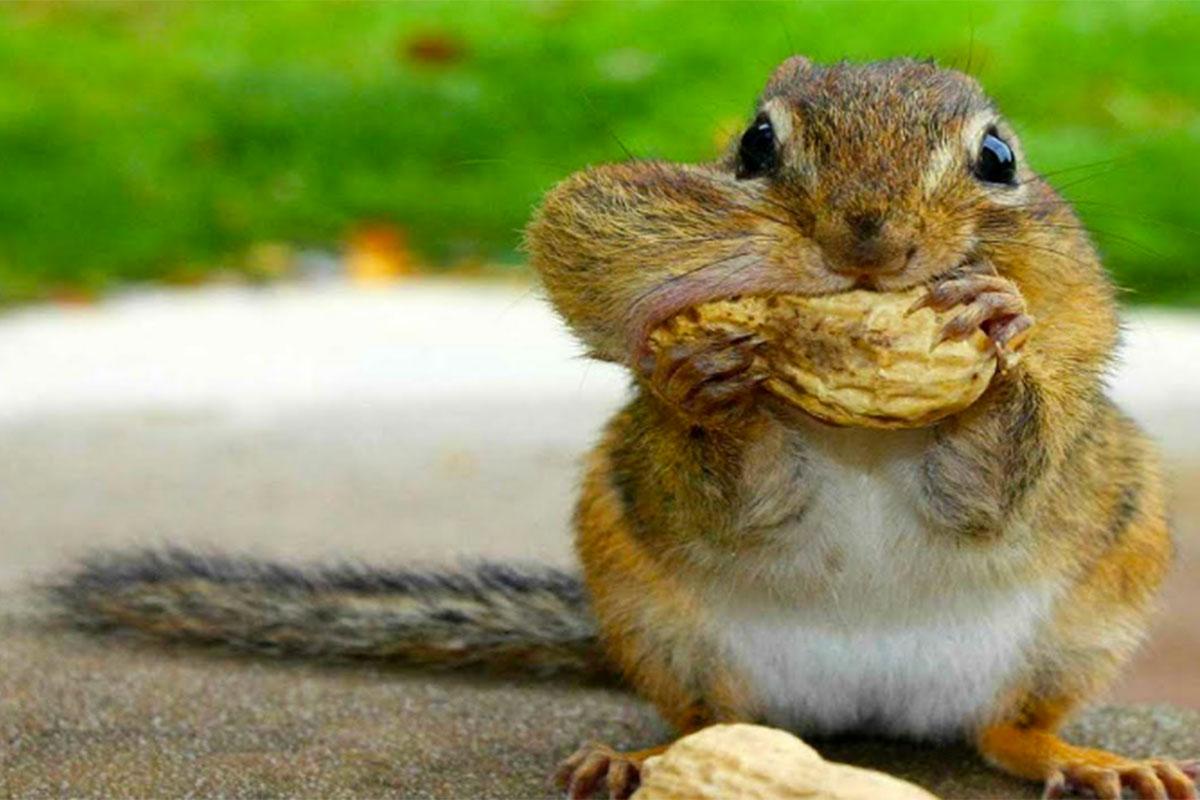 squirrel eatting