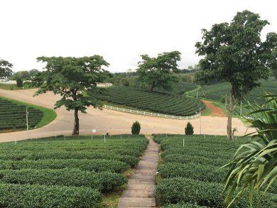 Chiang Rai - Chuai Fong Tea