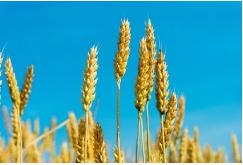 grain seed