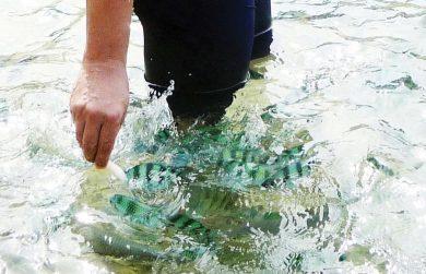 Koh Tao Feeding the Fish