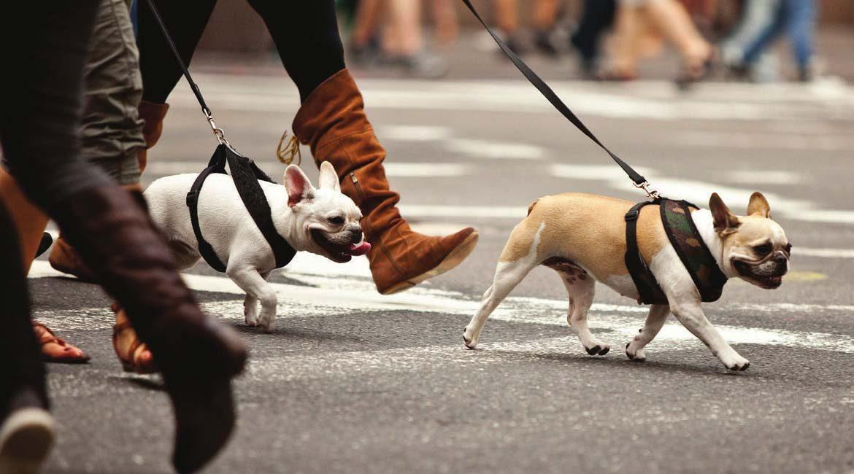 Pugs with boss