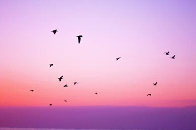 flying birds during sunset